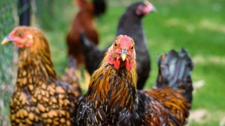 Cara Memilih Ayam Terbaik Untuk Sabung Ayam Online